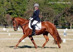 Warmblood Type Mare Rothbury Cessnock Area Preview