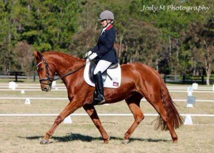 Warmblood Type Mare At Bargain Price