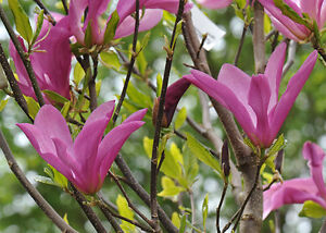 magnolia susan in 9cm pot ebay