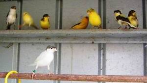 STOLEN - CANARIES - STOLEN - CANARIES - STOLEN - CANARIES Gosnells Gosnells Area Preview