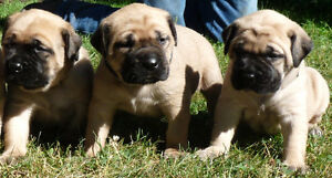 Purebred Old English Mastiff puppies