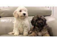 Gorgeous Cavapoochon Puppies