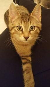 """Stormy"" - loving & playful male kitten available at Urban Paws"
