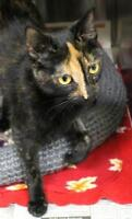 "Adult Female Cat - Domestic Short Hair: ""Copper"""