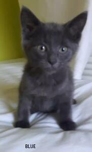Russian Blue Kittens- Vaccinated, Fixed, and Microchipped