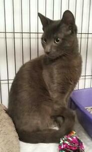 Russian Blue Kitten- Vaccinated, Neutered, Microchipped