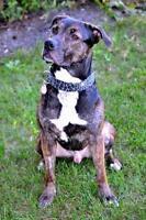 "Adult Male Dog - Pit Bull Terrier-Labrador Retriever: ""Nigel"""