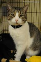 "Adult Male Cat - Domestic Short Hair: ""John"""