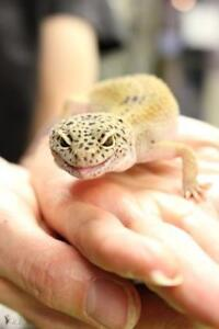 """Young Female Scales, Fins & Other - Gecko: """"Dragonnette"""""""