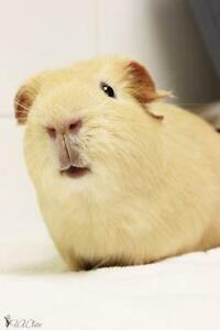 """Young Male Small & Furry - Guinea Pig: """"Jones"""""""