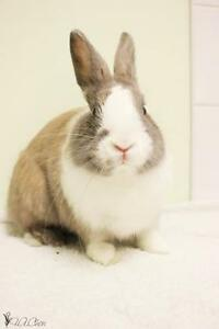 "Young Male Rabbit - Dutch-Bunny Rabbit: ""Houdini"""