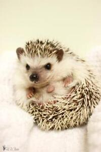 """Young Male Small & Furry - Hedgehog: """"Rudolph"""""""
