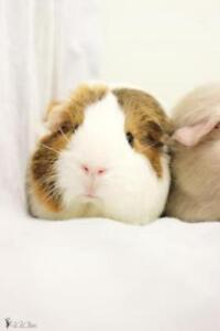 "Young Female Small & Furry - Guinea Pig: ""Cannelle"""