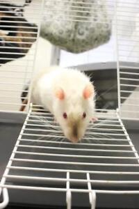 """Young Male Small & Furry - Rat: """"Mickey"""""""