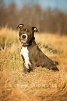 """Young Male Dog - American Staffordshire Terrier: """"Bob"""""""