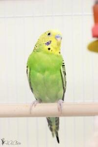 "Young Male Bird - Parakeet (Other): ""Popeye"""