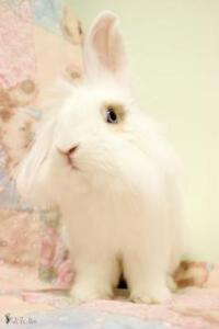 "Young Male Rabbit - Lionhead-Bunny Rabbit: ""Koukou"""