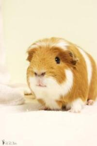 """Young Male Small & Furry - Guinea Pig: """"Laurel"""""""