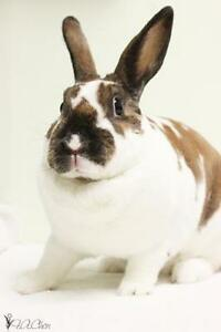 "Young Female Rabbit - Rex-Bunny Rabbit: ""April"""