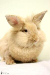 "Adult Female Rabbit - Lionhead-Bunny Rabbit: ""Juniper"""