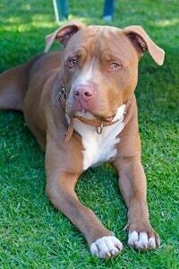 "Adult Male Dog - Pit Bull Terrier: ""Roderick"""