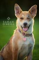 "Young Female Dog - Shepherd-Siberian Husky: ""Samantha"""