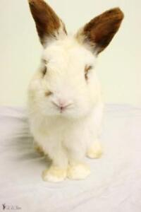 "Young Male Rabbit - Bunny Rabbit: ""Hendrix"""