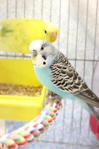 "Young Male Bird - Budgie / Budgerigar: ""Jubba"""