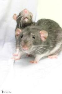 "Adult Male Small & Furry - Rat: ""Gus"""
