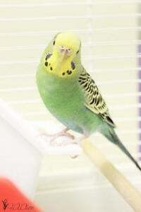 """Young Female Bird - Parakeet (Other): """"Mali"""""""