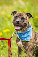 """Young Male Dog - American Staffordshire Terrier: """"Axel"""""""