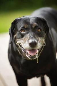 "Senior Female Dog - Labrador Retriever: ""Claire"""