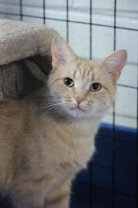 """Young Female Cat - Domestic Short Hair-orange: """"Willow"""""""
