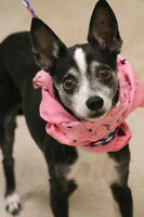 Chihuahua female Dog Chi Spayed Vaccinated  - Sirius K9 Rescue