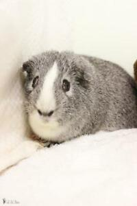 """Young Male Small & Furry - Guinea Pig: """"Ti-Gris"""""""