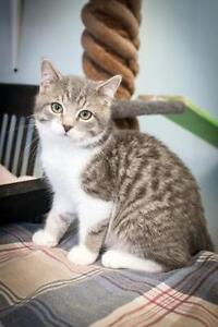 "Young Male Cat - Tabby: ""Apple"""