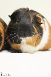 """Young Male Small & Furry - Guinea Pig: """"Michael"""""""