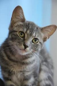 """Young Female Cat - Domestic Short Hair: """"Izzy"""""""