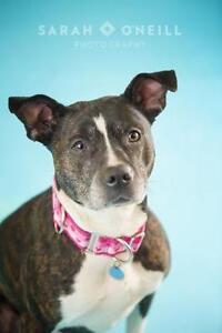 "Adult Female Dog - Pit Bull Terrier: ""Betty"""