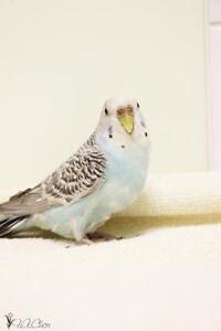 "Young Female Bird - Budgie/Budgerigar: ""May"""