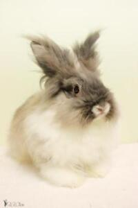 "Baby Male Rabbit - Lionhead-Bunny Rabbit: ""Oreo"""