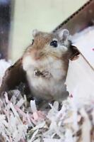 """Young Male Small & Furry - Gerbil: """"Mercure"""""""