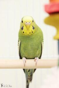 "Young Female Bird - Parakeet (Other): ""Olive"""