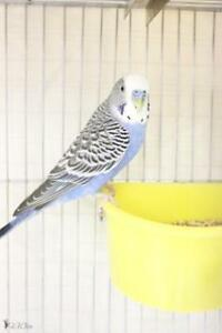 "Young Male Bird - Budgie / Budgerigar: ""Blueberry"""