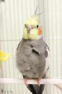 "Adult  Bird - Cockatiel: ""Pidge"""