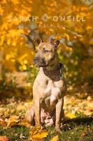 Young Female  - American Staffordshire Terrier-Weimaraner