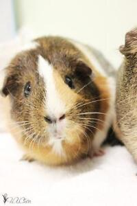 "Young Female Small & Furry - Guinea Pig: ""Nala"""