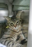 """Young Male Cat - Domestic Short Hair: """"Charles"""""""
