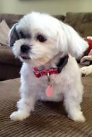 "Adult Female Dog - Shih Tzu: ""Maddy"""