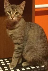 "Young Female Cat - Tabby - Brown: ""Chrissy"""